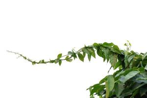 Vine plant green leaves