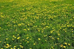 campo verde con dientes de león foto