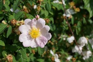 Wild rose in a park