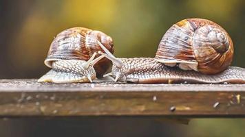 dos caracoles con concha