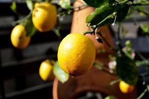 limón maduro en el árbol