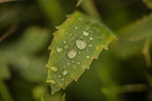 Rain drops on a green leaf photo