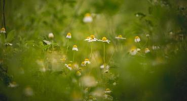 flores de manzanilla en un campo verde foto