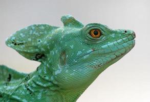 Close-up de un lagarto basilisco verde