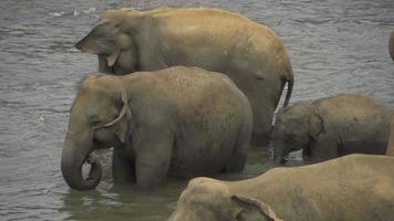 rallentatore: elefanti che bevono in un fiume