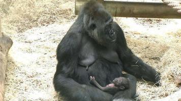gorilla femmina e il suo bambino