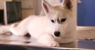 simpatico cane sdraiato sul tavolo