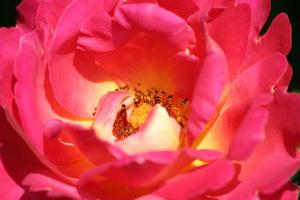 Close-up of a pink flower photo