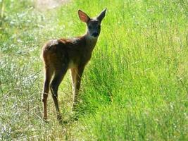 Fawn in a green field