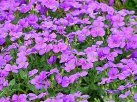 campo de flores moradas foto