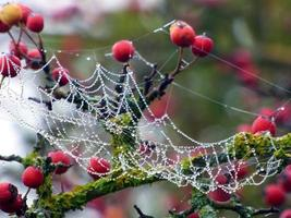 Spider web and red berries