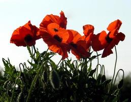 Close-up of red poppies photo