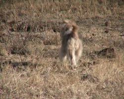 ntsc: cachorro fugindo