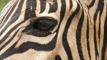 close-up do olho da zebra, áfrica do sul