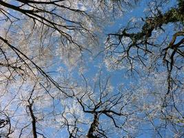 Looking up at winter trees