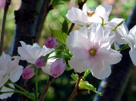 primer plano, de, prunus, flores