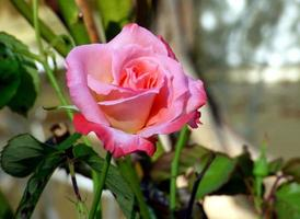 Close-up of a pink rose photo