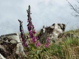 Purple foxglove flowers in a field photo