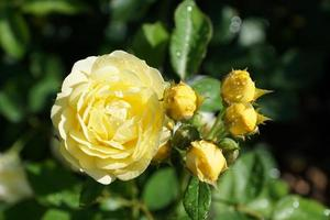 Yellow rose in the park photo