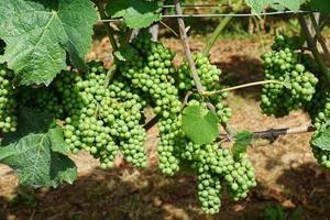 uva en el viñedo