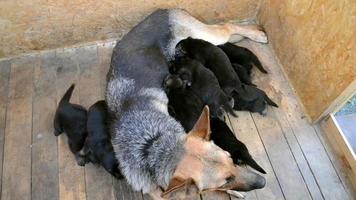 pastor adulto com seus filhotes