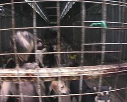 chiens de refuge