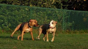due cani che trottano insieme nel parco per cani