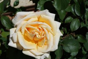hermosa rosa amarilla