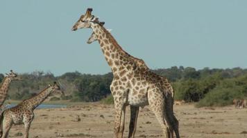 giraffe che combattono