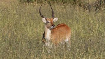 antilope di lechwe rossa