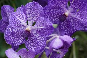 Purple orchid in spring