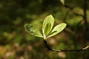 Beech leafs in spring photo