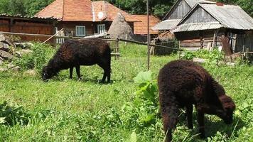 zwei schwarze Schafe