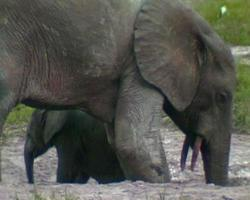 elefanti delle foreste africane 6