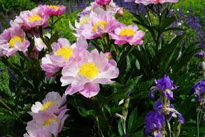Peonies in a park