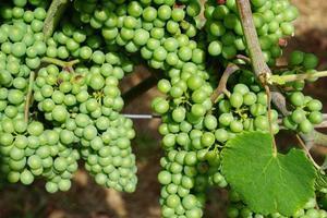 Grape at the vineyard