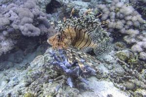 hermoso pez león
