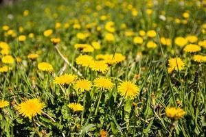 A dandelion meadow  photo