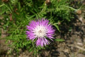 Purple cornflower in the park photo
