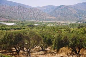 Olive trees on Crete in front of mountains