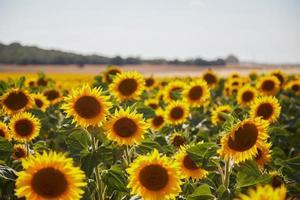 campo de girasol amarillo foto