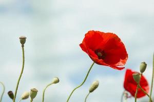 champ de pavot rouge