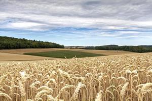 vista de um campo de trigo