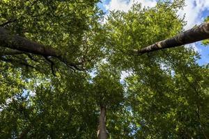 Looking up at tree tops
