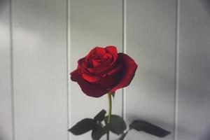 Red rose in front of a white wooden wall photo