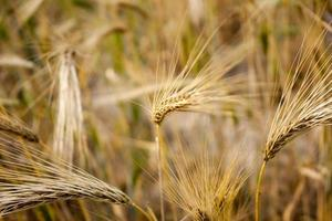 Close-up of wheat  photo