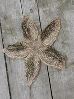 Starfish on the deck photo