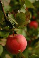 Red apple tree photo