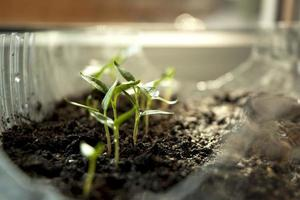 Green paprika sprouts photo