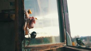 chapim pássaro come pão e banha no parapeito de uma janela de madeira. câmera lenta
